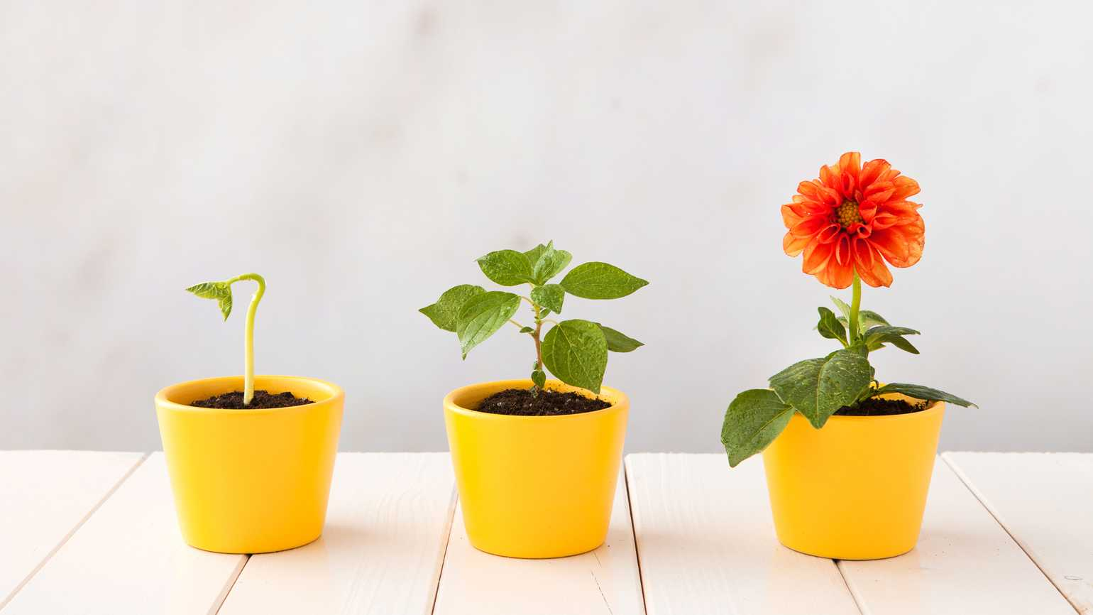 Three flower pots representing three stages of growth.