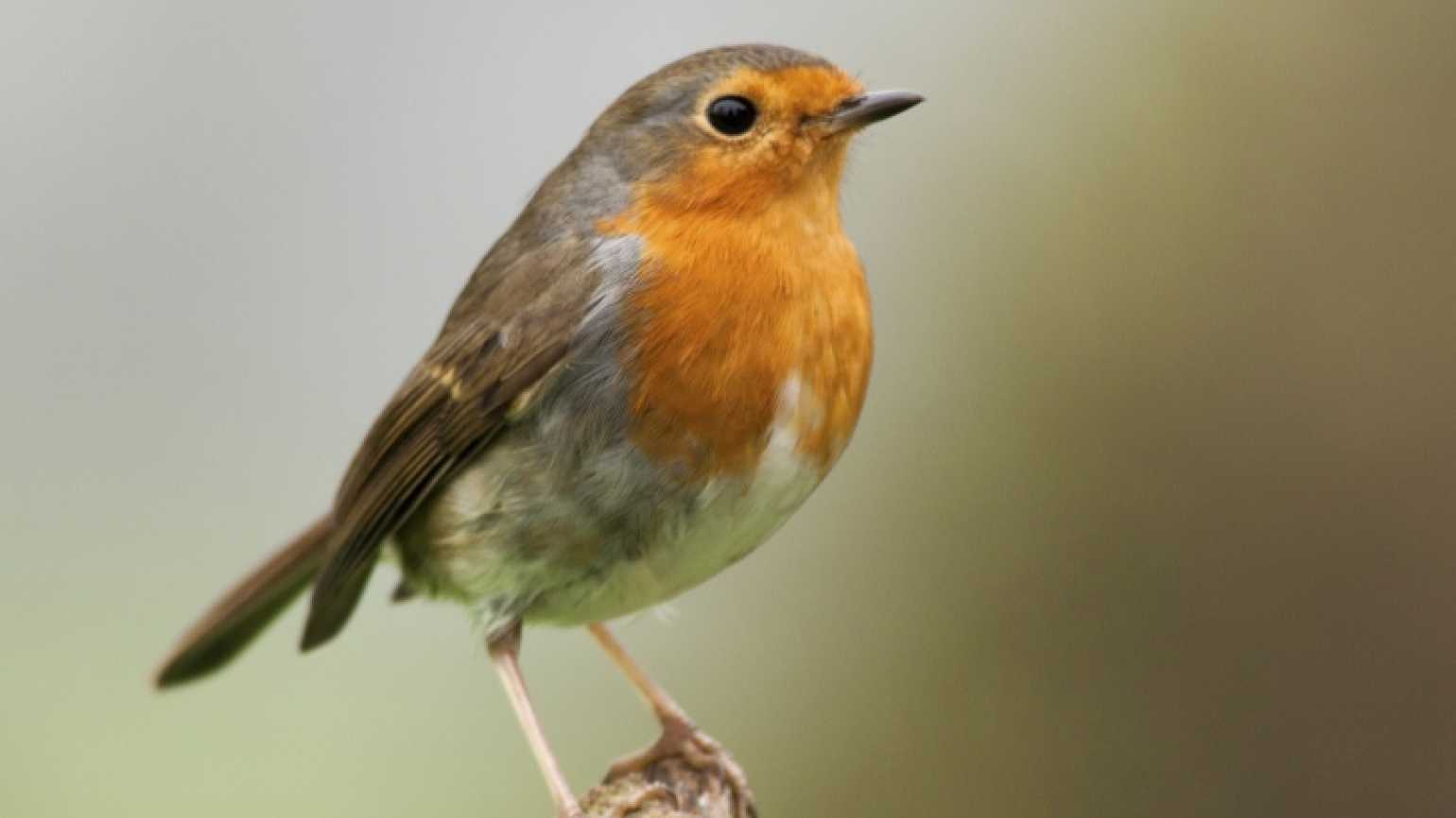 A robin on a branch.