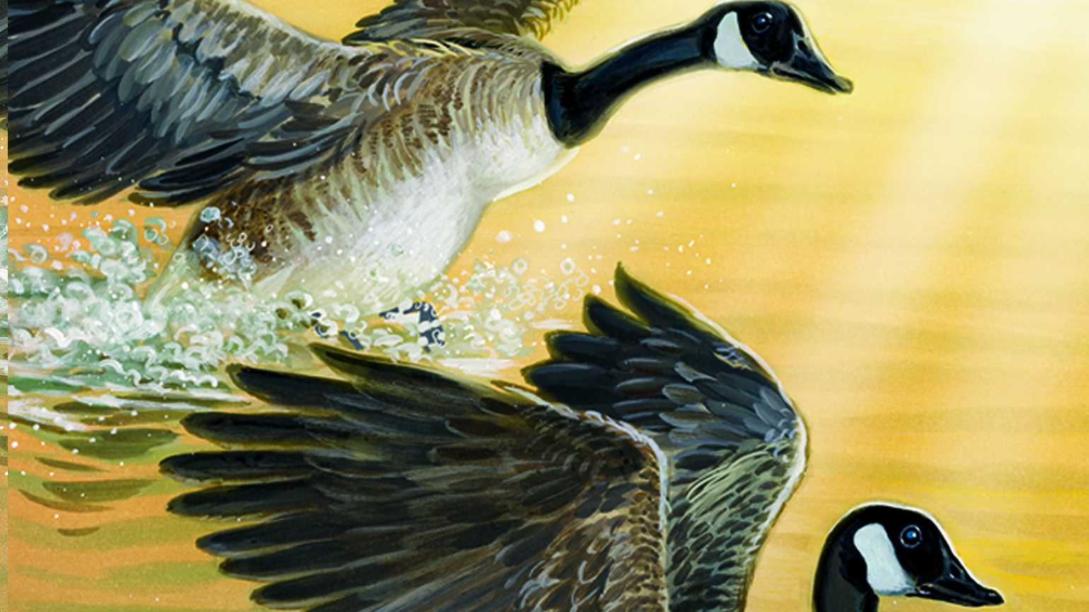 Two geese landing in a pond.