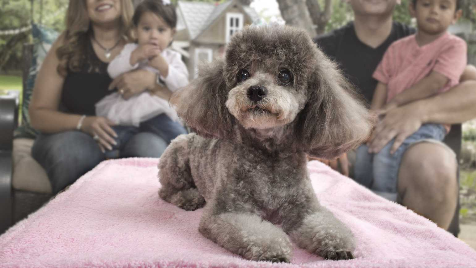 A close up of Teddy the toy poodle with Anna's family.