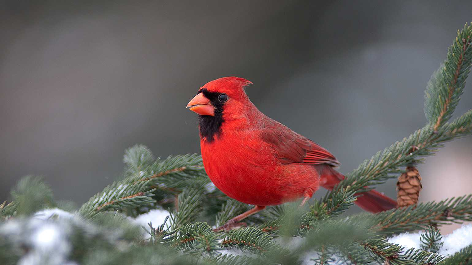 Cardinal perched on a snow-covered pine branch