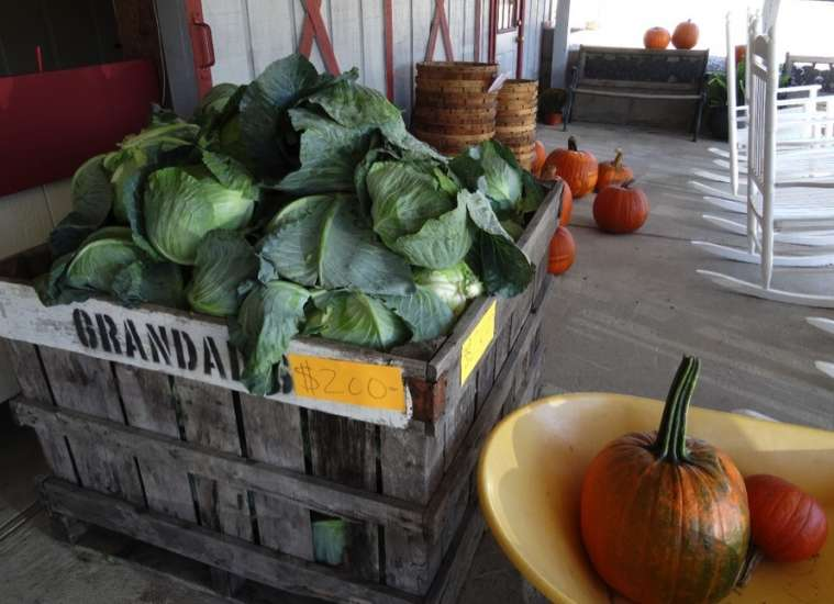 The store at the apple orchard featured giant cabbages, some weighing almost 10 pounds!