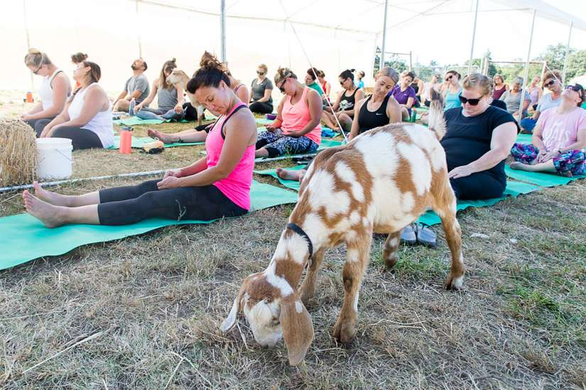Goat Yoga: Goats roaming nearby their mats relax and calm yogis as they move through poses. Better Living Health Wellness