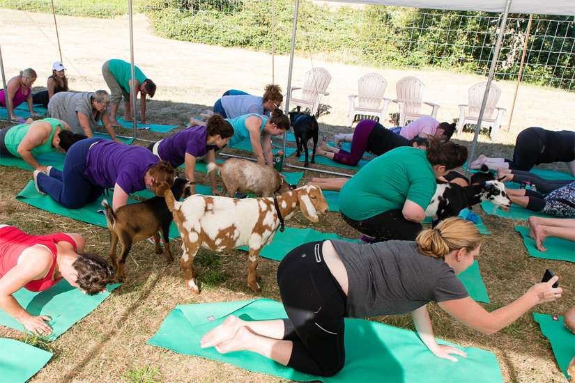 Goat Yoga: Some participants pause mid-pose to take photos of the furry class companions. Better Living Health Wellness