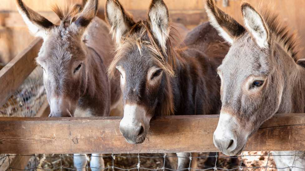 "Ronnie now spends time with two other donkeys, Merlin and Morrison, at the farm, though Robin says Ronnie is the ""head honcho."""