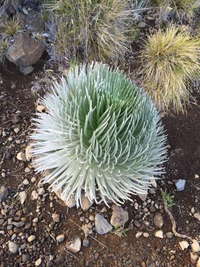 Silversword, a spiky plant found only on Haleakalā, a dormant volcano in East Maui, Hawaii.