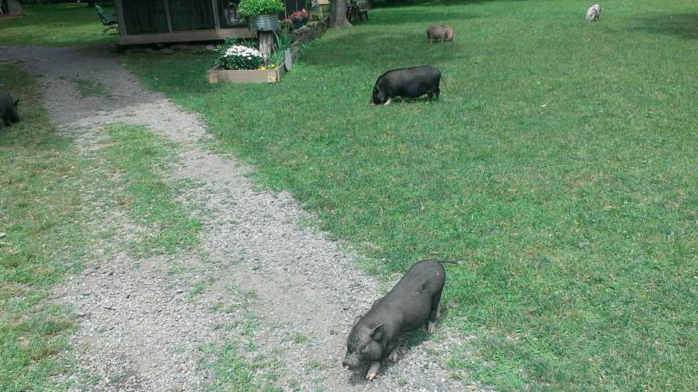 The farm is a pig rescue and sanctuary where the pigs roam free.