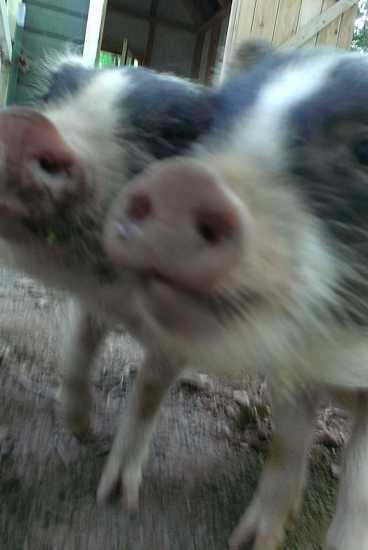 Two of the Ross Pig Farm's residents