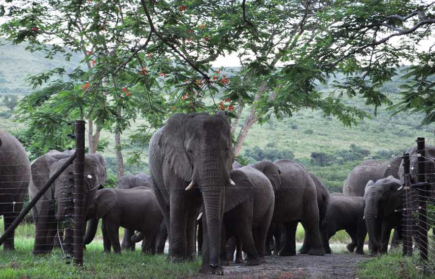 Elephants on the Thula Thula game reserve