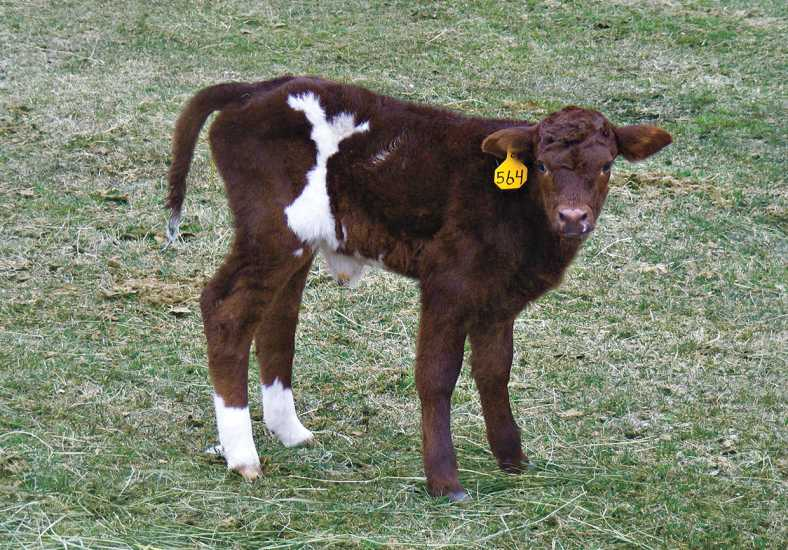 Susan Topham's calf, Angel
