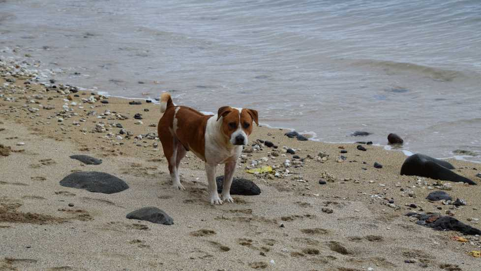 pitbull mix on the beach, photo credit Brooke Obie