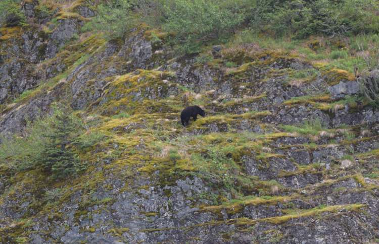 Black bear climbing a rocky cliff at Kenai Fjords Glacier Lodge in Alaska