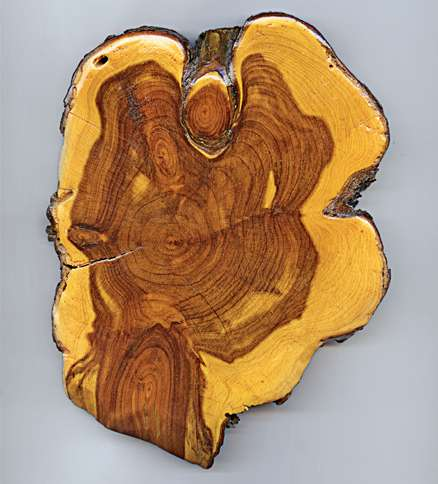 An angel appears in a cross-section of shaggy bark juniper wood