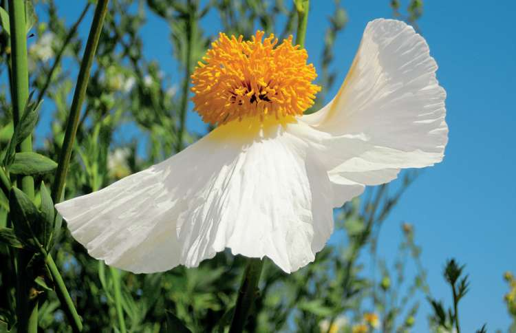 A Matilija poppy that resembles a waving angel