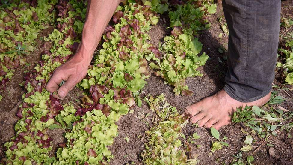 Michael leans down to weed the planted rows of lettuce on his farm