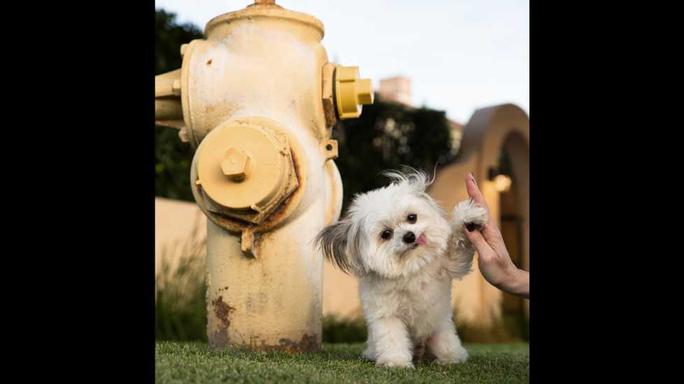 Norbert giving his signature hi-five by a fire hydrant.