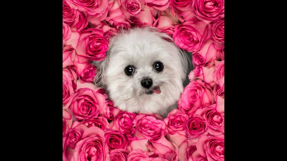 Norbert's face blooms in the middle of a collection of pink roses.