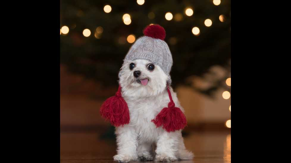 A holiday festive Norbert wearing a pom-pom hat.
