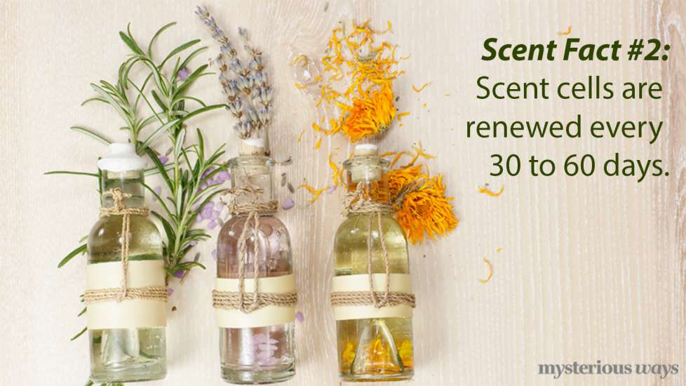 Scent cells are renewed every 30 to 60 days