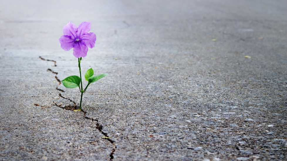 A purple flowers growing through cement.