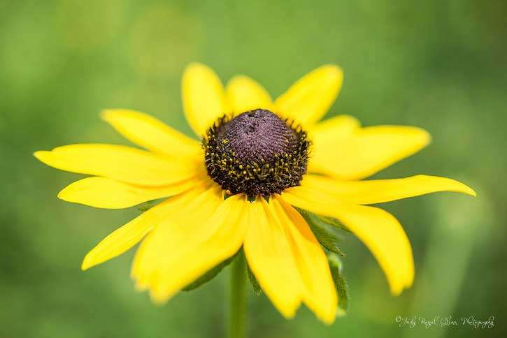 Guideposts: A bright yellow Brown-Eyed Susan captured by photographer Judy Royal Glenn