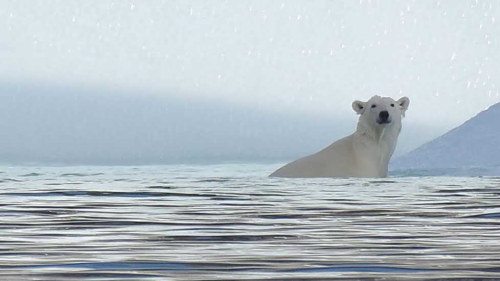 A polar bear lounging in the Arctic waters.