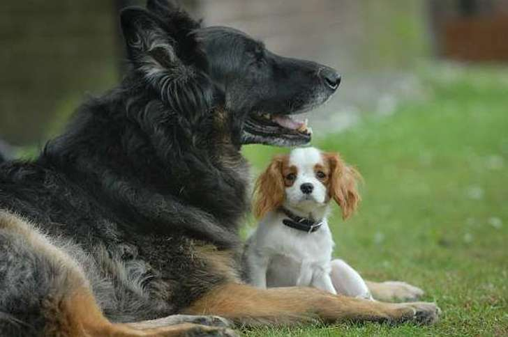 Leo the German Shepherd and Ellie, a blind King Charles Spaniel