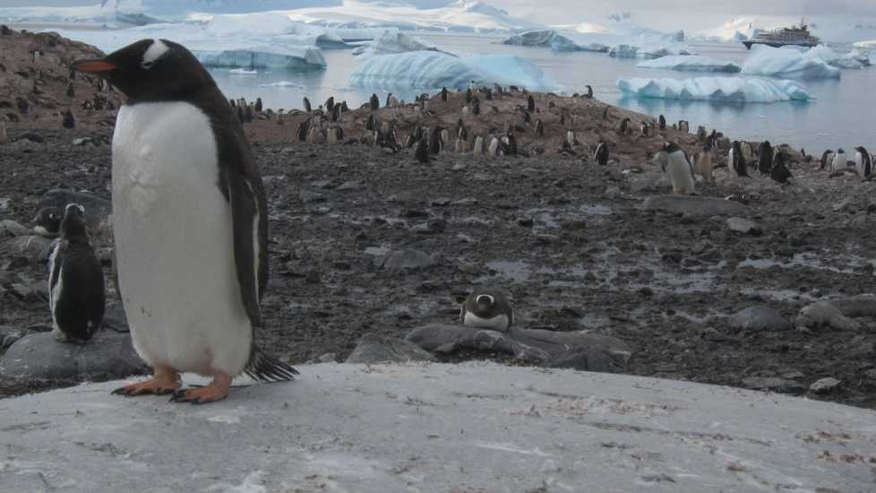 A close up of a penguin clambering on the edge of ice.