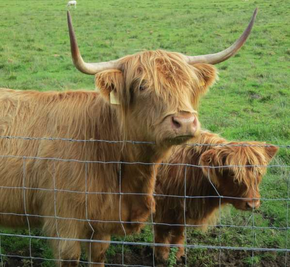 """Meet the cows of the Highlands, aka """"hairy coos."""""""