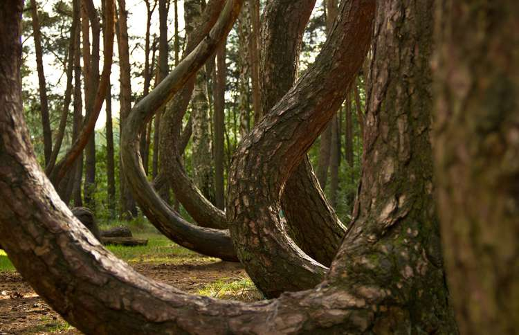 Guideposts: This grove of nearly 400 pine trees—shaped like upside-down question marks—may have been intentionally molded by Polish farmers prior to World War II.