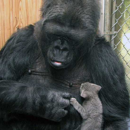 Koko, the Beloved Gorilla Who Learned to Communicate via Sign Language 2018 death notice better living life advice finding life purpose
