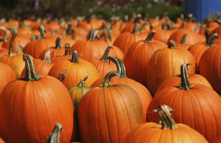 Guideposts: Beautiful orange pumpkins, as far as the eye can see.