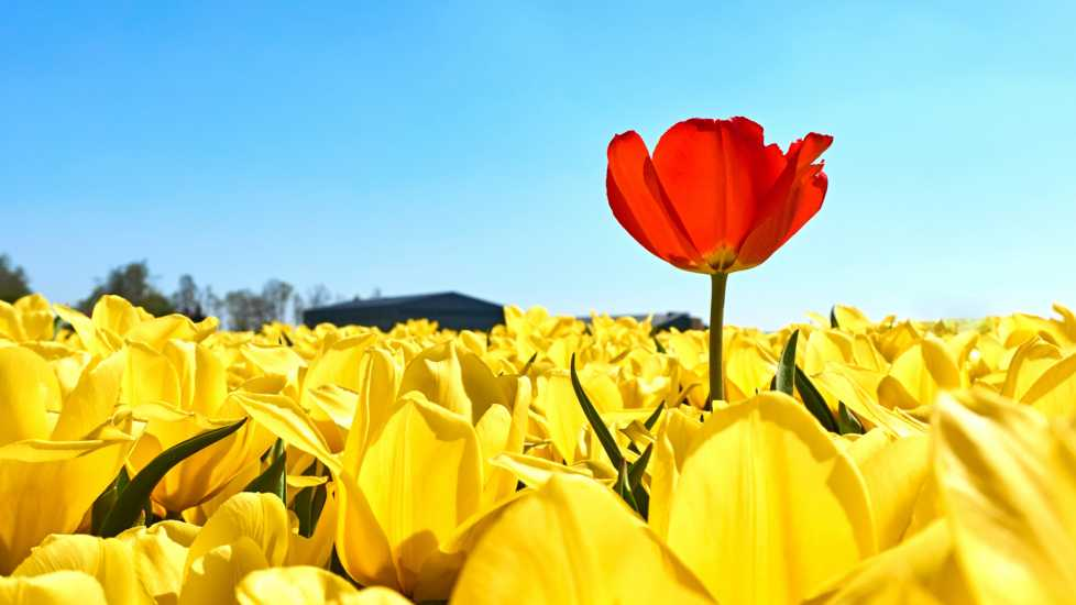 A single red tulip in a field of yellow tulips.