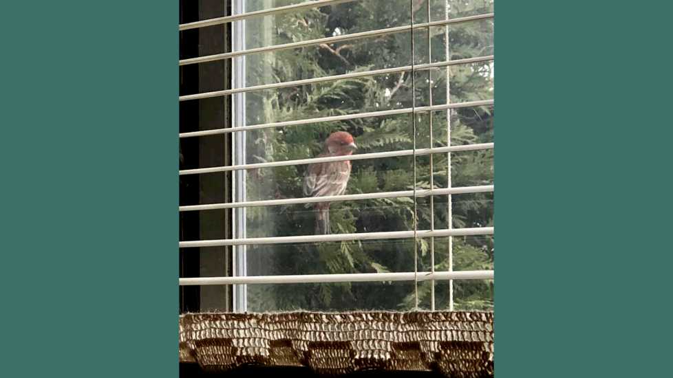 A house finch's daily visits.