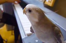 The singing cockatiel, perched on a keyboard