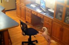 A pooch pushes a chair to gain access to treat on a counter.