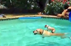 This puppy rides on his friend's back as he swims across the food.