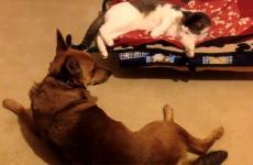 A frustrated dog stares down the cat who has usurped his bed.