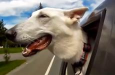 A dog hangs his head outside a moving car to enjoy the breeze.