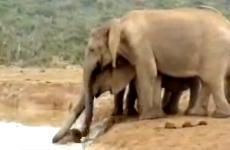 A young elephant floundering in a water hole is rescued by its family.
