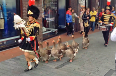 A group of adorable geese march across town.