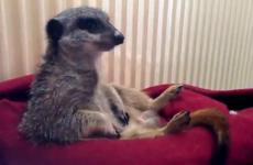 Soori the sleepy meerkat