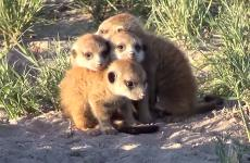 A huddle of baby Meerkats
