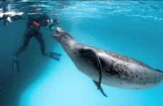 Phil Nicklin and the mothering leopard seal