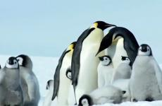 A family of Emperor penguins huddle together in the chill of Antarctica.