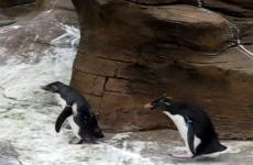 A pair of young penguins chase a butterfly.