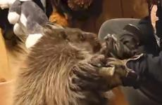 Porcupine plays with handler