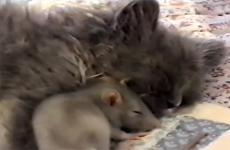 A cat and a rat curl up together for a nap.