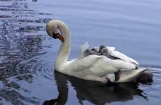 Baby swans float along on their mother's back.