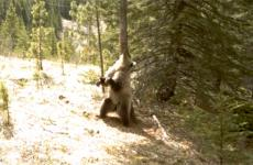 A bear scratches his back against a tree.